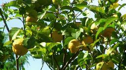 Lemon tree detail Stock Video Footage