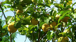 Lemon Tree Detail stock footage