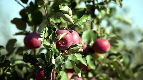 ripe apples Stock Video Footage
