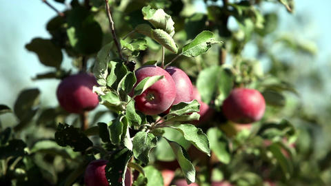 ripe apples Footage