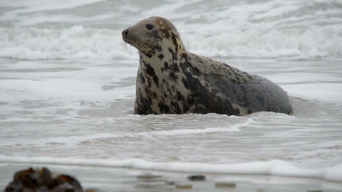 female grey seal watch attentive her pup 11229 Footage