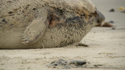 grey seal rolling in the sand 11231 Stock Video Footage
