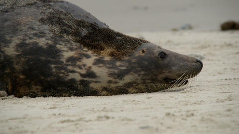 agressiv female grey seal defend their terri 11233 Stock Video Footage