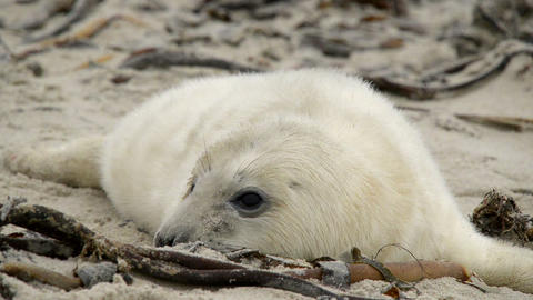 sweet little grey seal pup 11237 Stock Video Footage