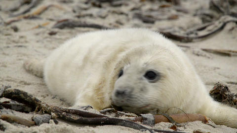 Sweet Little Grey Seal Pup 11237 stock footage