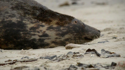 grey seal mother protects her pup 11239 Stock Video Footage