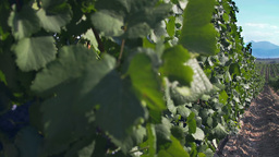 Tracking shot on grapevine plants in a vineyard pl Stock Video Footage