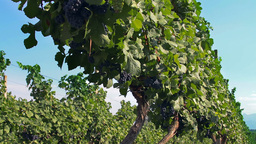 Tracking shot on grapevine plants in a vineyard pl Footage