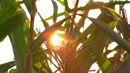 Shimmering sunbeams behind the cornfield stalks Footage