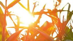 Shimmering sunbeams behind the cornfield stalks Stock Video Footage