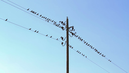 Flock Of Birds Gathered On Wires stock footage