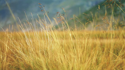Yellow grass swaying on the wind Stock Video Footage