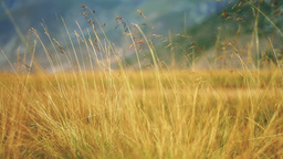 Yellow grass swaying on the wind Footage