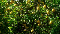 Lemon tree medium shot Stock Video Footage