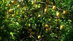 Lemon tree medium shot Stock Video Footage