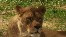 Lioness close up Stock Video Footage