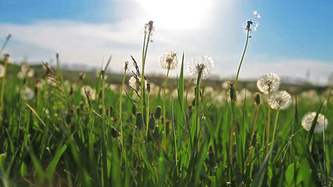 a walk in dandelions Stock Video Footage