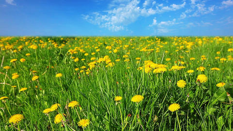 glade of dandelions Stock Video Footage