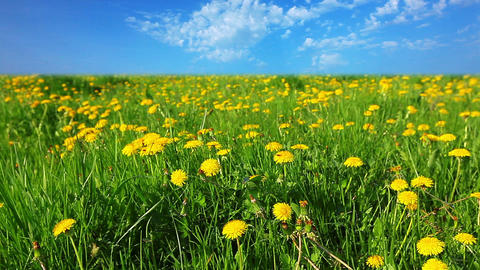 glade of dandelions Footage