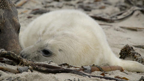 female grey seal smells at her pup close 11243 Stock Video Footage