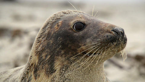 grey seal super close 11247 Stock Video Footage