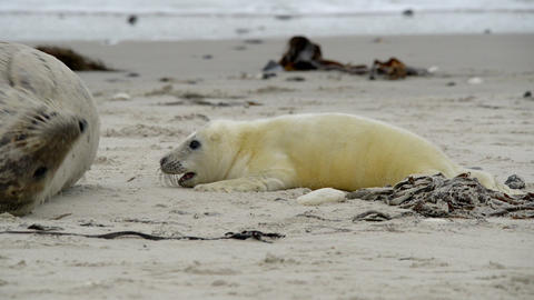grey seal pup hunting for mothers milk 11250 Stock Video Footage