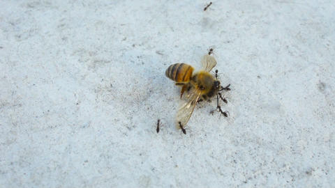 Ants carrying a Honey Bee Stock Video Footage