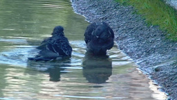 Pigeons in the water Stock Video Footage
