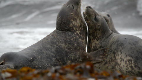 grey seals during love game 11252 Footage