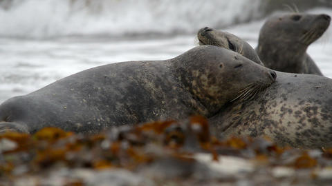 grey seals during love game 11252 Stock Video Footage