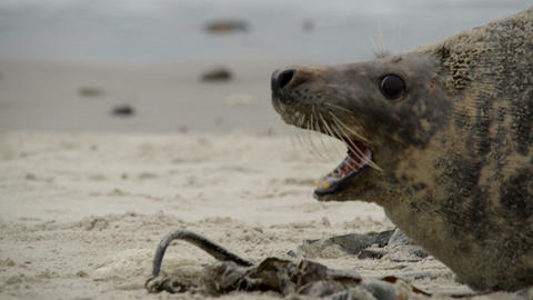 agressiv female grey seals fight to protect 11254 Footage