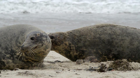 agressiv female grey seals fight to protect 11254 Stock Video Footage