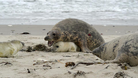 female grey seal reprimands her pup 11256 Footage