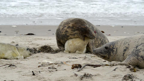 female grey seal reprimands her pup 11256 Stock Video Footage