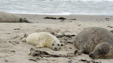 female grey seal wth pup close to cam 11258 Stock Video Footage