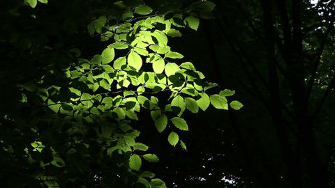 Glowing Leaves stock footage