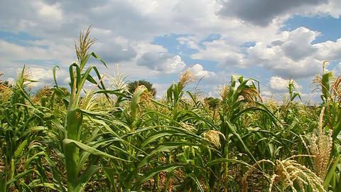 Corn flowers in a field Stock Video Footage