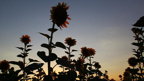 Beautiful sunflowers in bloom at sunset Stock Video Footage