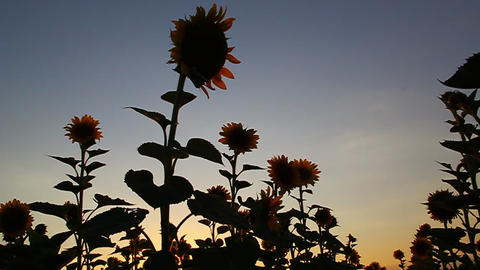 Beautiful sunflowers in bloom at sunset Footage