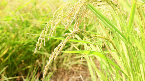 Closeup Of Rice Growing In Field stock footage