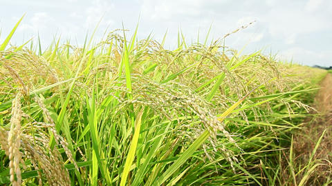 Closeup of rice growing in field Footage