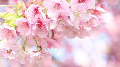 kawazu cherry Stock Video Footage