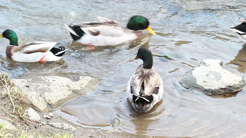 ducks by edge of water Stock Video Footage