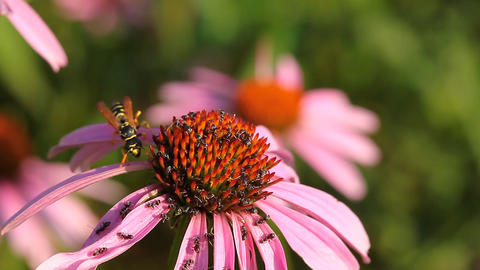 Coneflower with wasp and ant Stock Video Footage