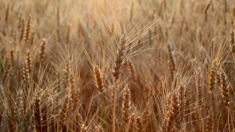 wheat ears Stock Video Footage