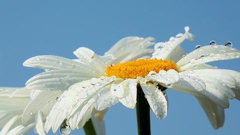 Camomile flower with dew Footage