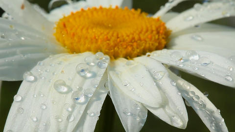 Camomile flower with morning dew Stock Video Footage