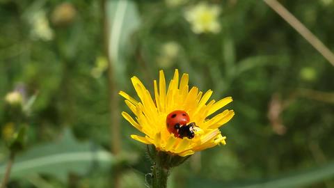 Ladybird on dandelion flower Stock Video Footage