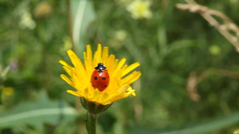 Ladybird on dandelion flower Footage