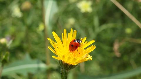Ladybird on dandelion flower Stock Video Footage